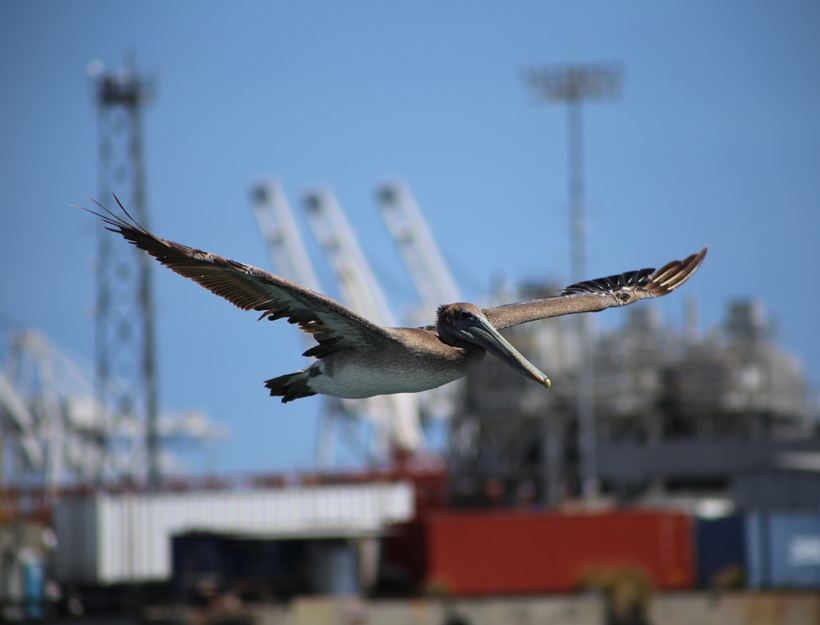 Bye Bye birdie, or in this case, pelican!