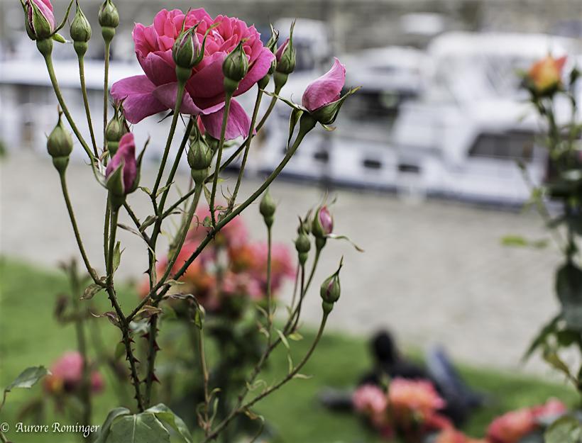 Paris 2016 Spring rains, red roses and red umbrellas