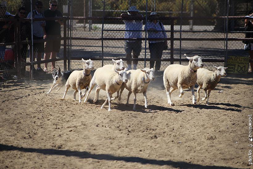 Sheep Herding Demo