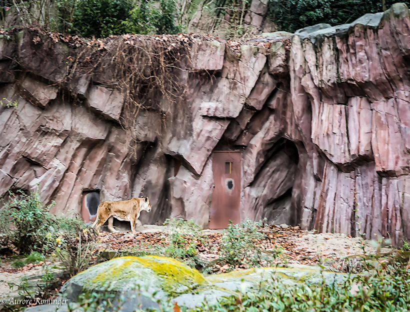 Lioness asks to go inside